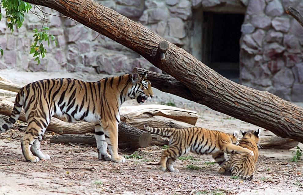 Tigers in Vladivostok