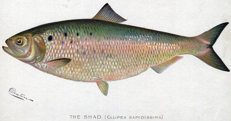 Shad Fish