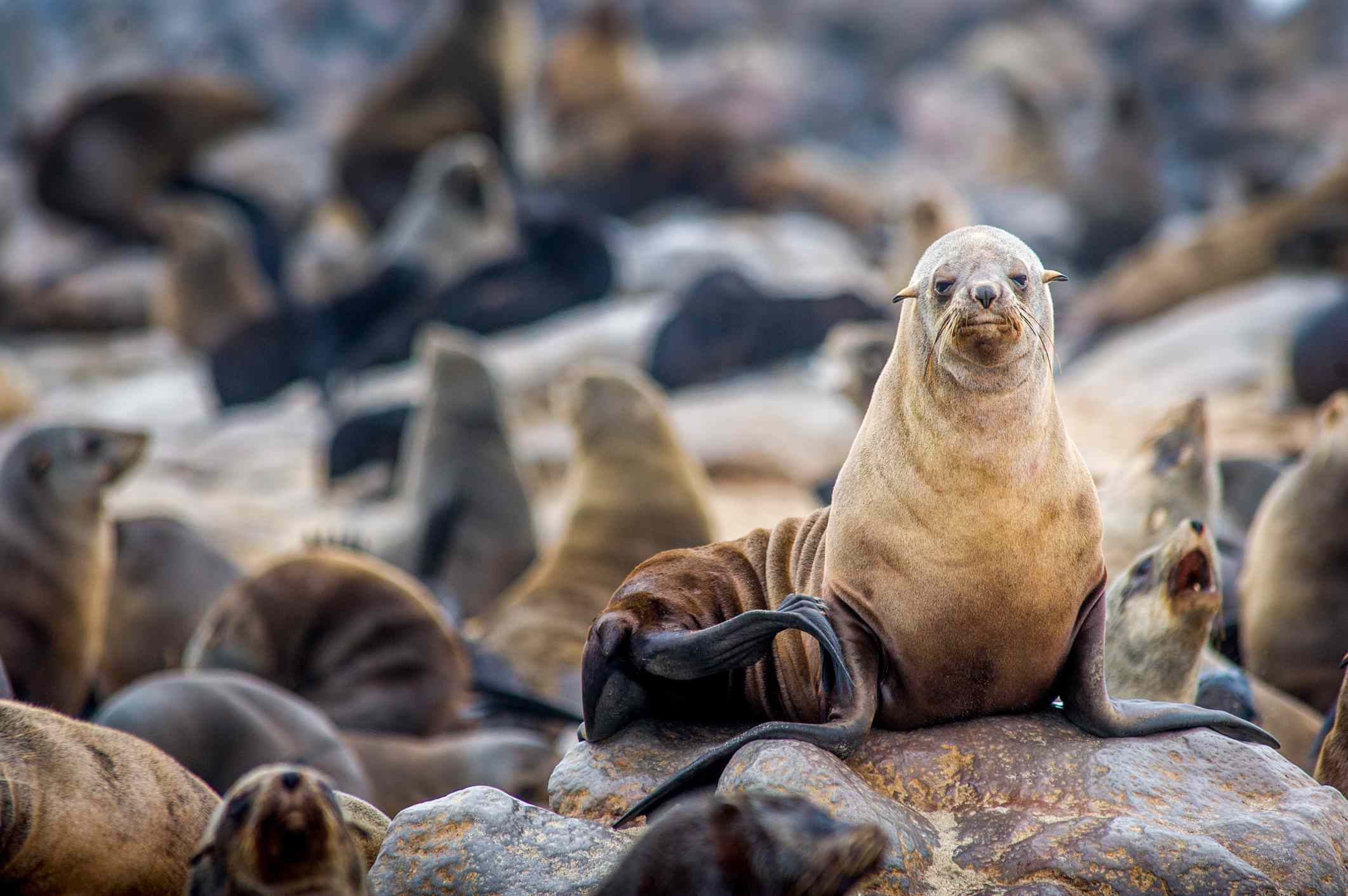 Cape Fur Seals