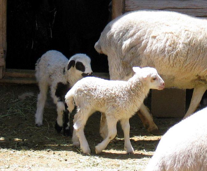 Rancho de Las Golondrinas Lambs