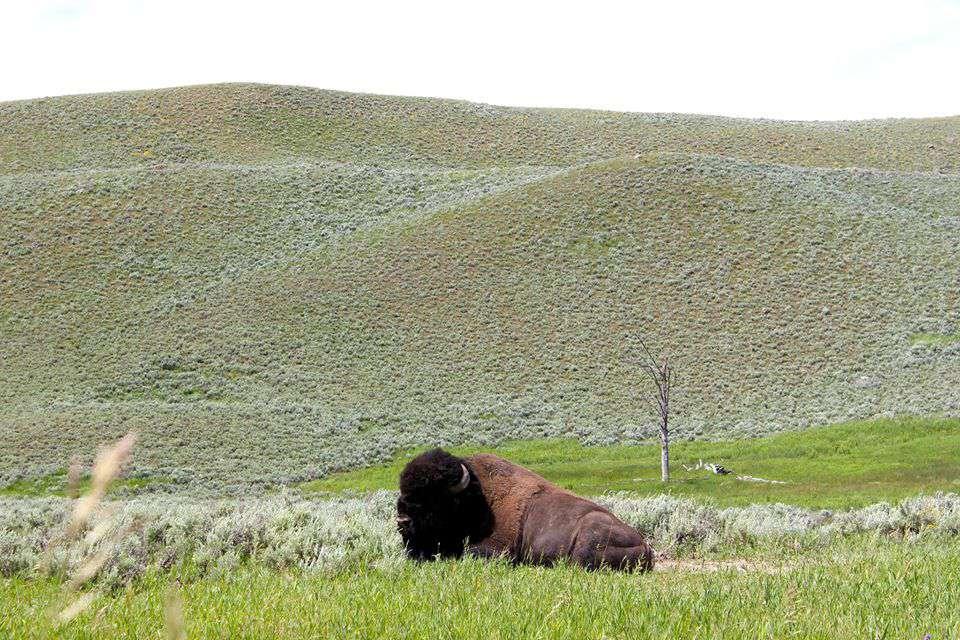 Los bisontes están en todas partes en el Parque Nacional de Yellowstone