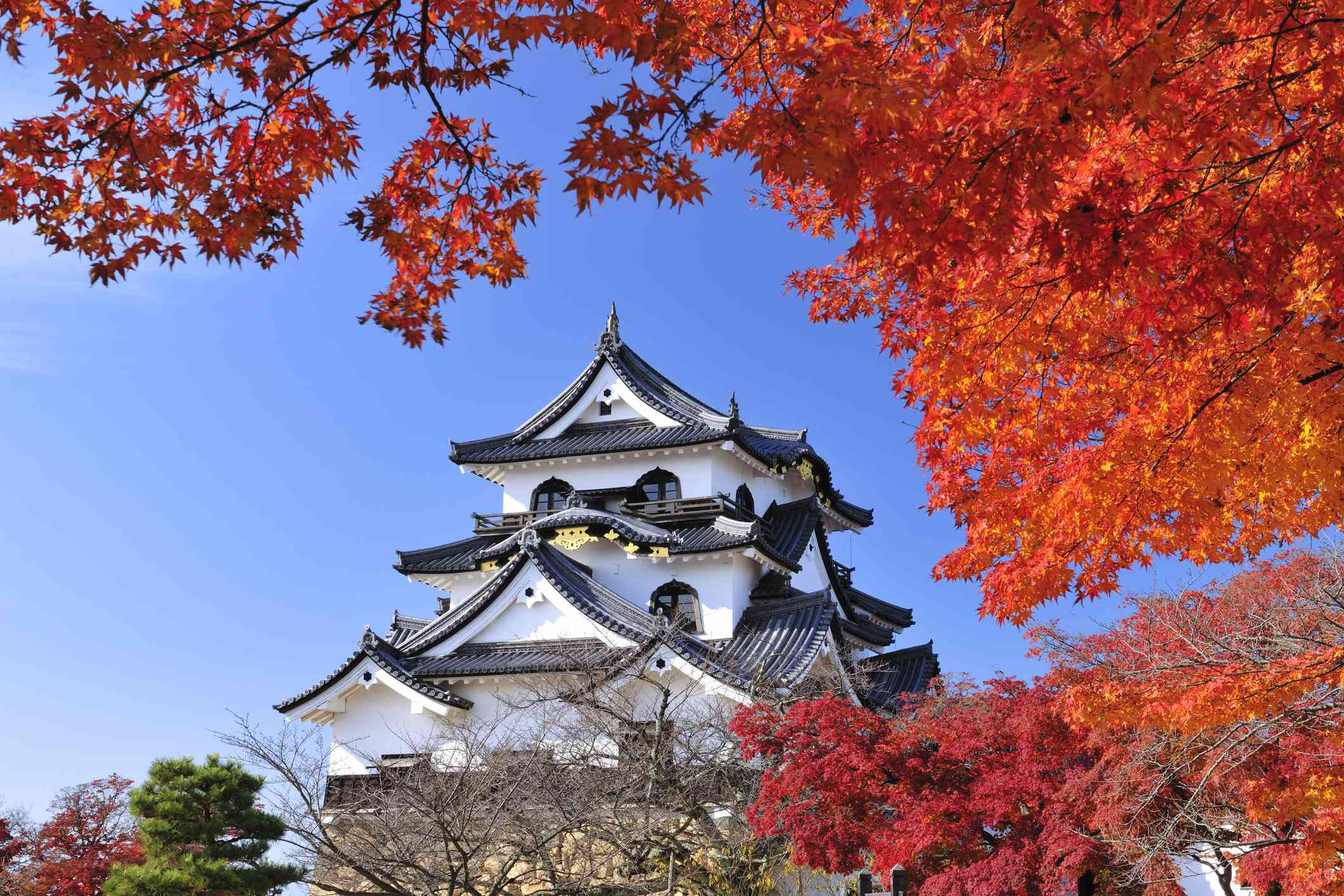 main tower of Hikone castle with red maple trees in the foreground