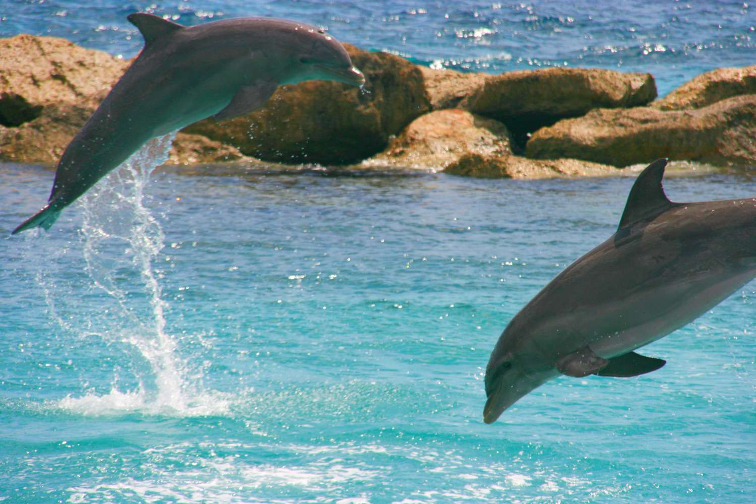 Two dolphins mid-air jumping out of or into clear blue water in Curaçao with a rock jetty in the background.