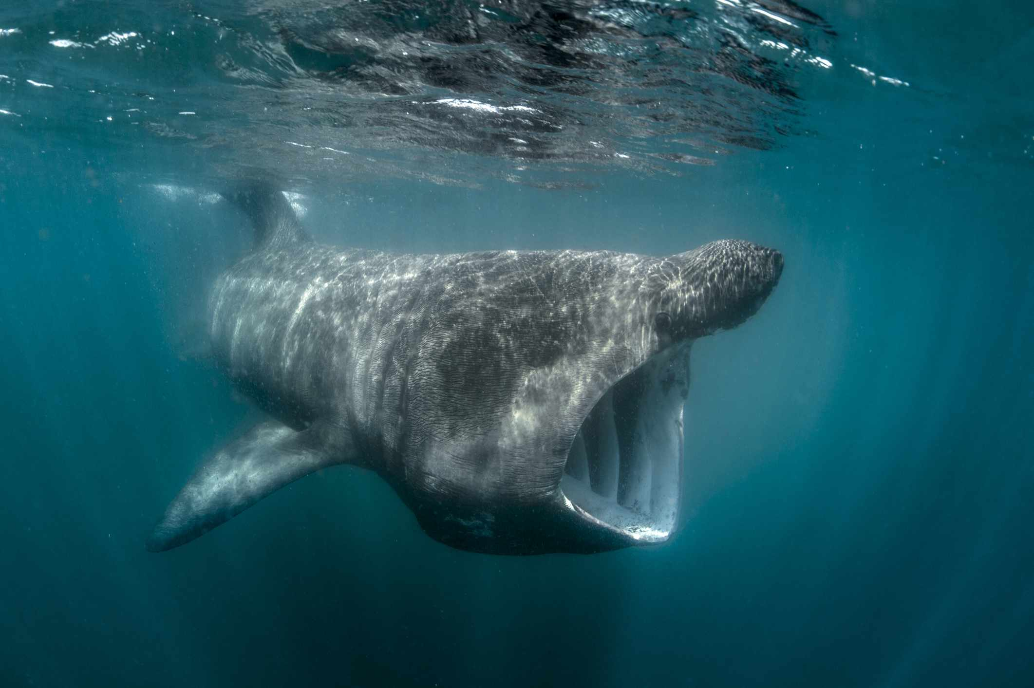 Underwater view of a basking shark, UK