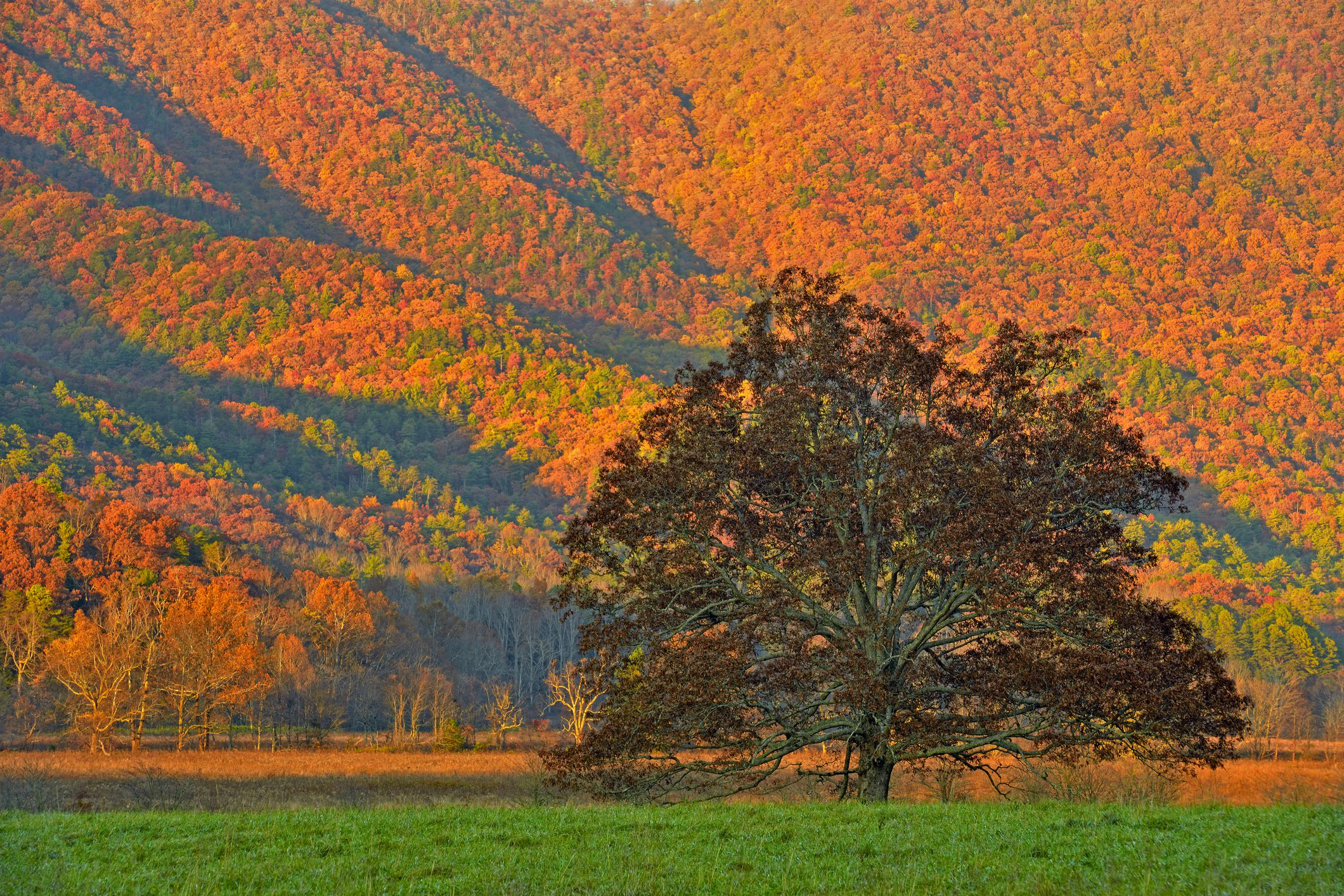 Autumn colour in Cades Cove- mountain slopes and oak tree, Great Smoky Mountains NP, Tennessee, USA