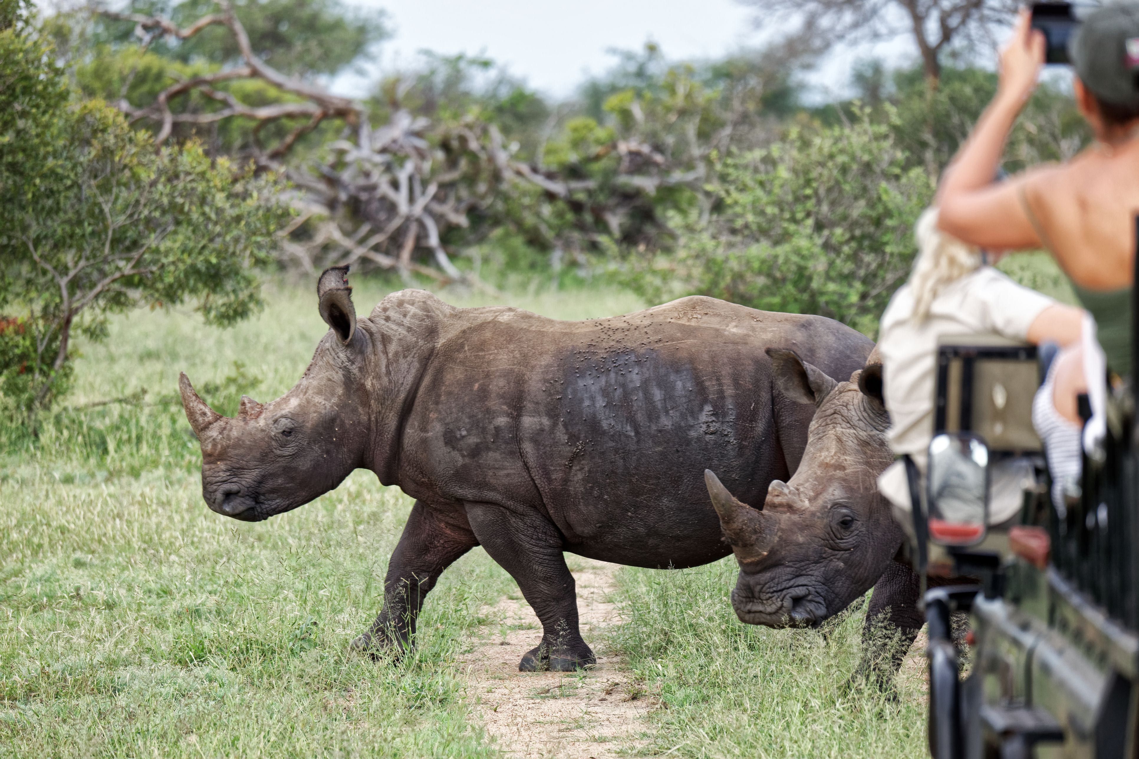 White rhinos watched by tourist in the Klaserie Reserve, Greater Kruger National Park
