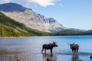 Two moose in a lake in Glacier National Park