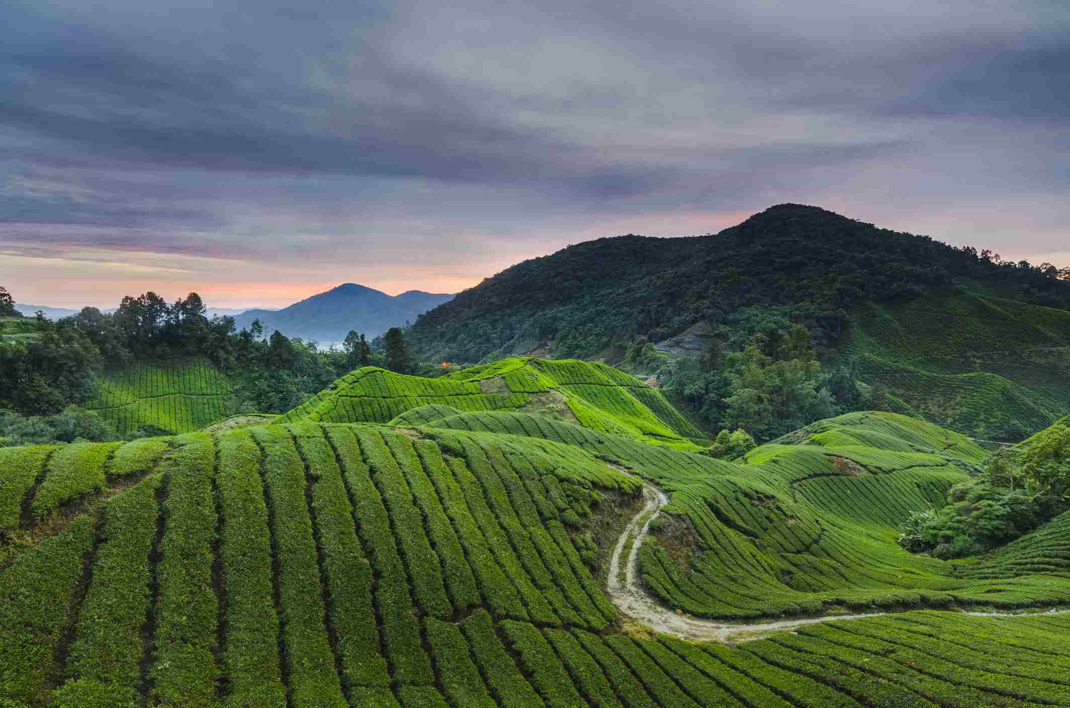Green tea plantation in Malaysia's Cameron Highlands