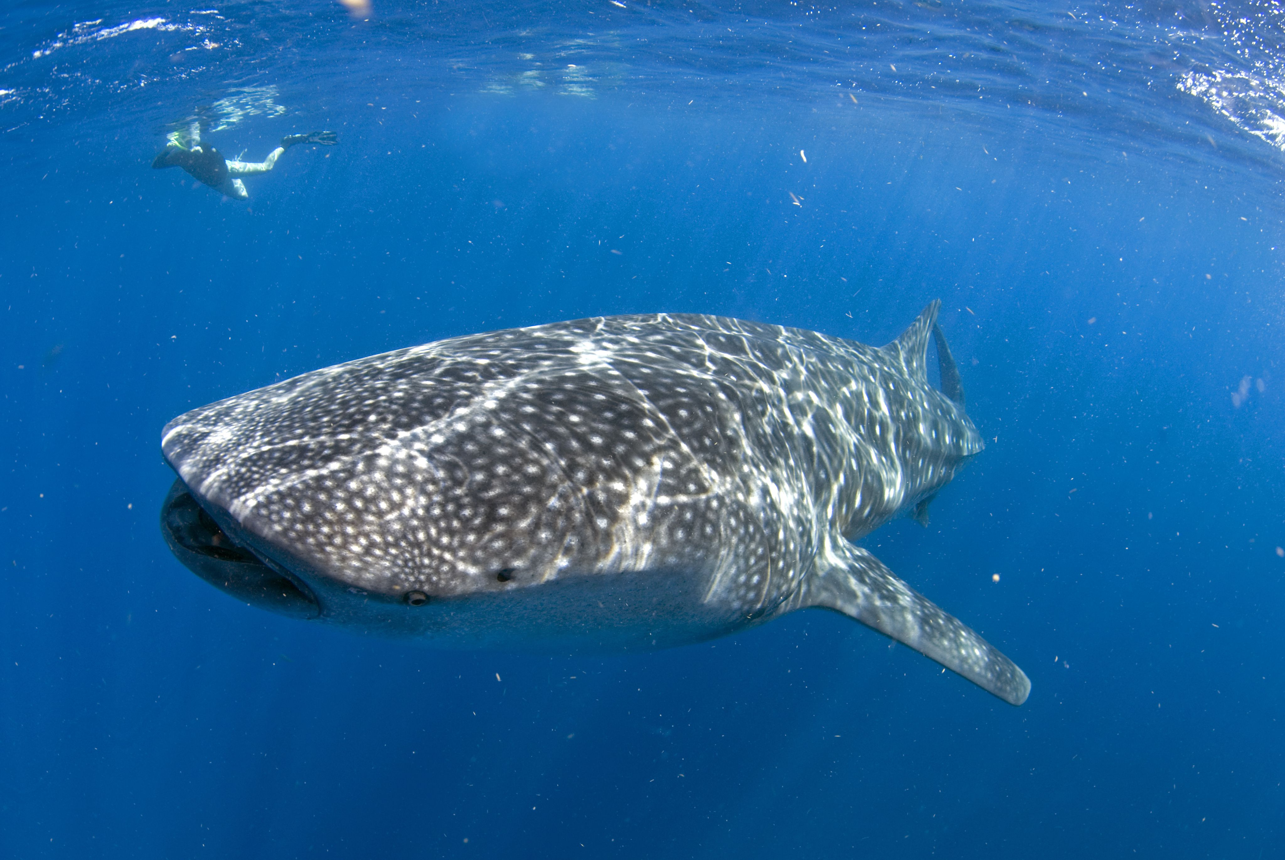 Whale shark (Rhincodon typus) with female snorkeler, Isla Mujeres near Cancun and Holbox, Mexico, Caribbean Sea