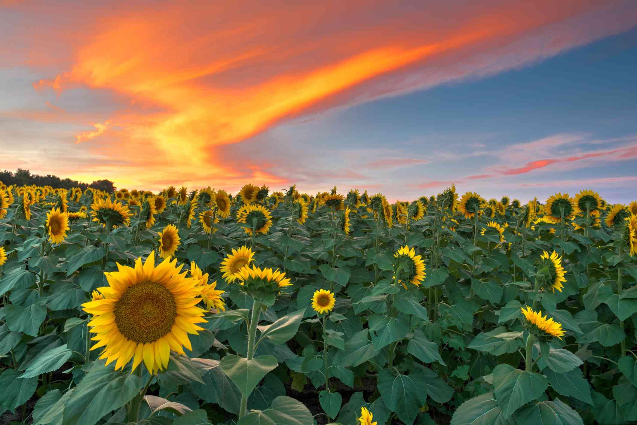 Sunflower field in Lawrence, Kansas