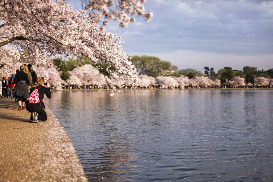 Flores de cerezo en DC