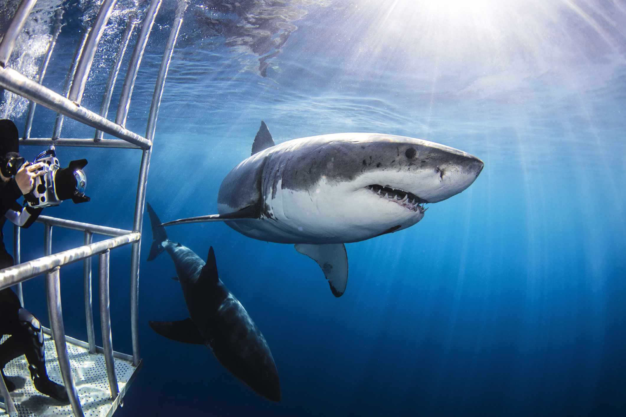 Shark diving in Isla Guadalupe