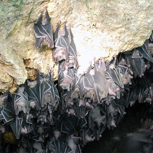 Bats in cave, Monfort Bat Sanctuary, Samal Island, Philippines