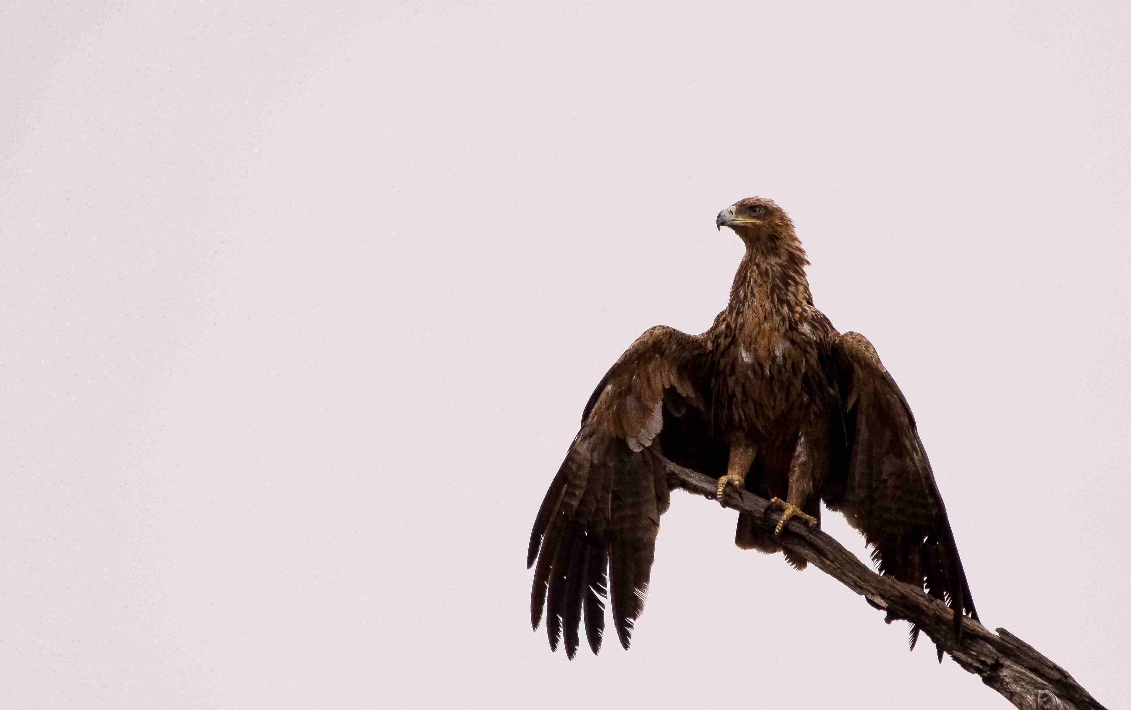 Tawny Eagle against a cloudy sky.
