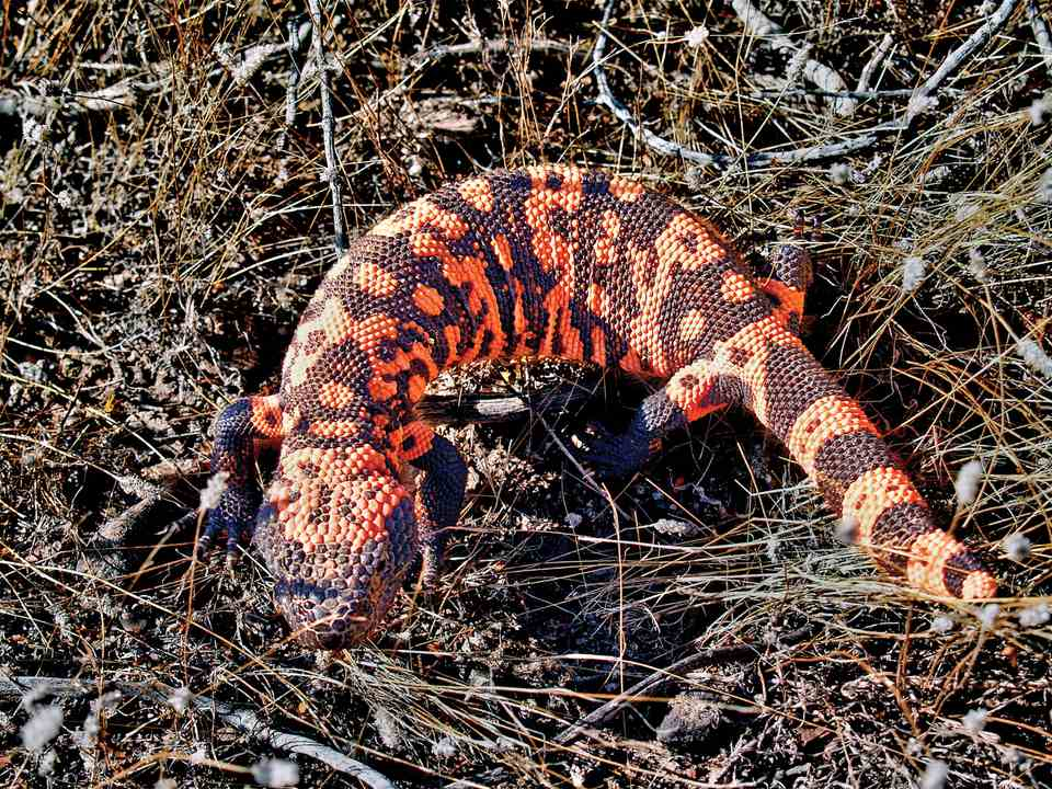 Gila Monster, Arizona