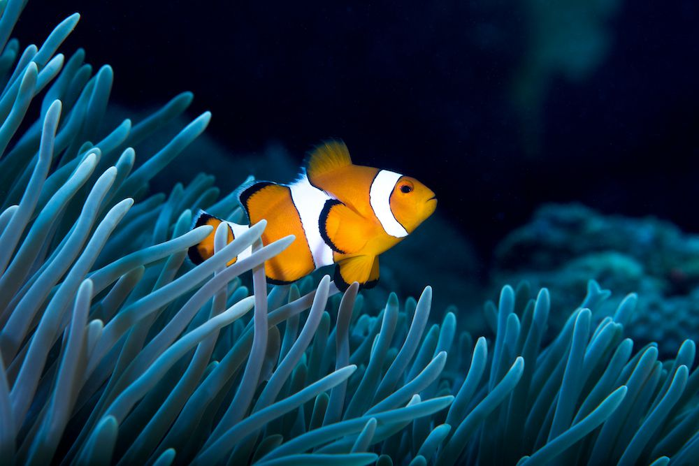 A golden clown fish swims near a sea anemone