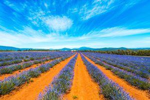 Lavender field in Tasmania, Australia