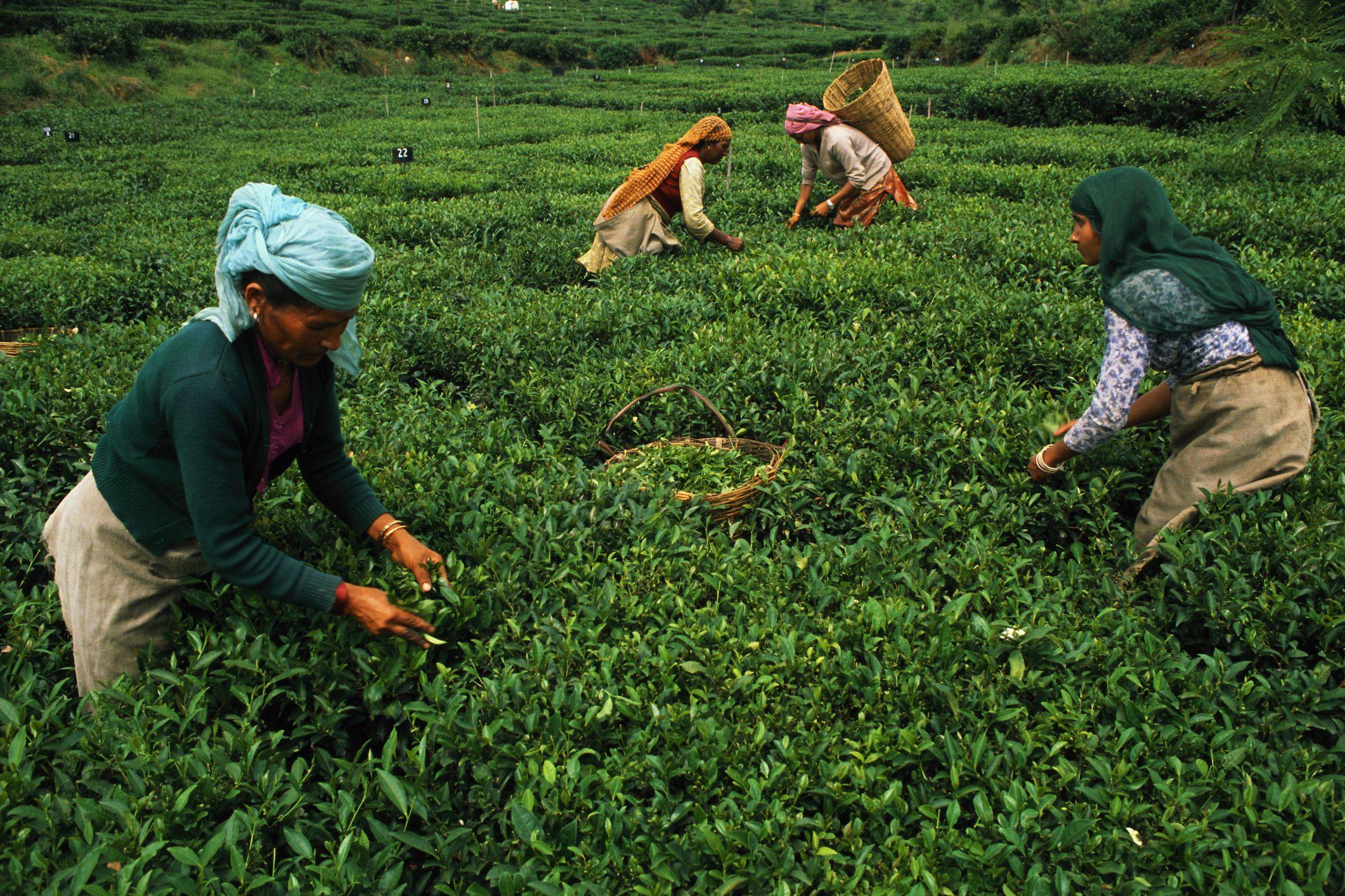 Tea Tourism 7 Places To Visit India Tea Plantations