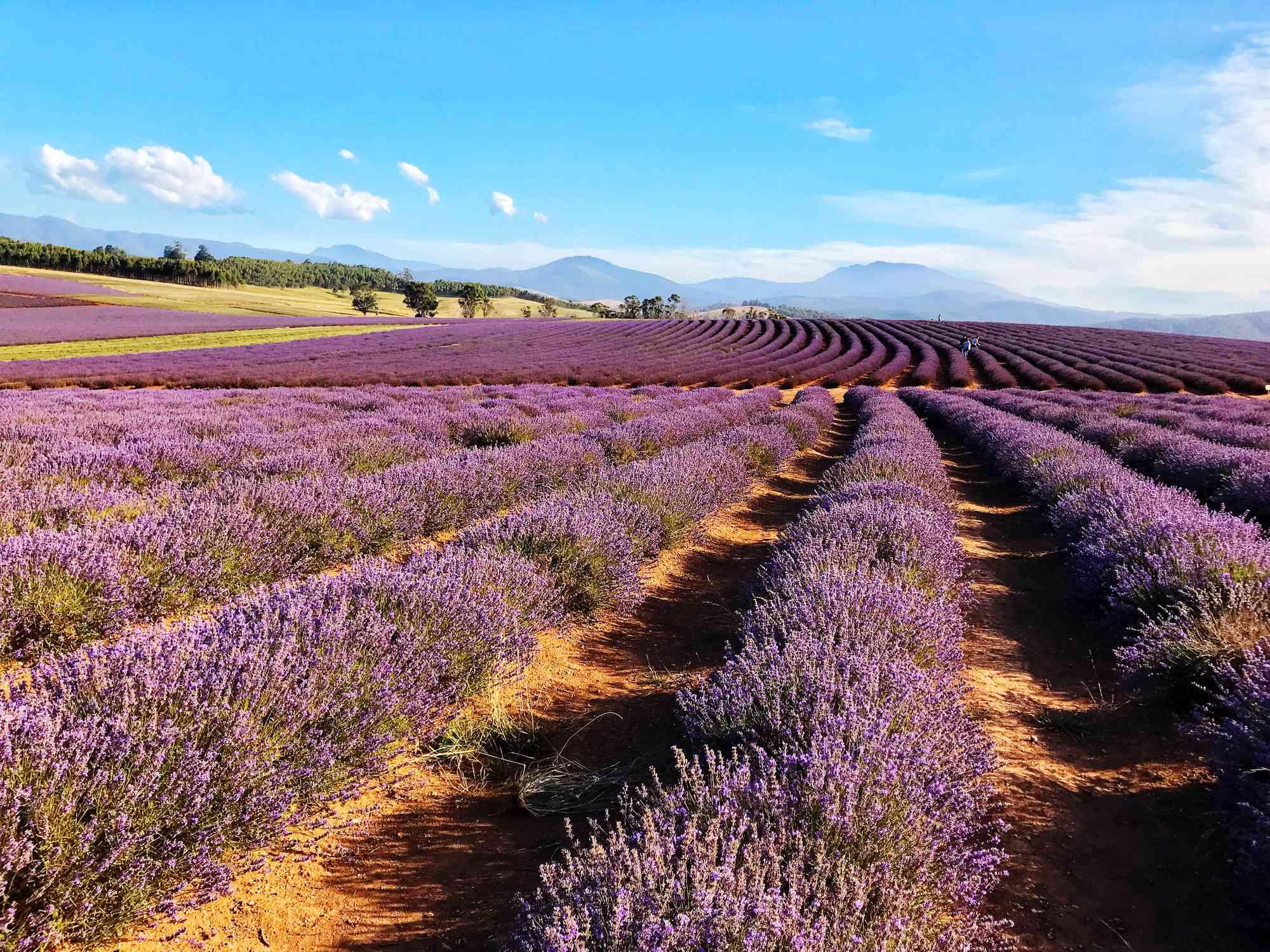 Lavender fields under blue sky