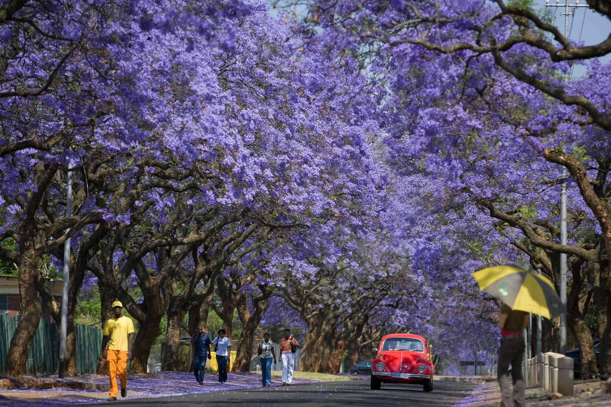 Jacarandas in bloom, Pretoria