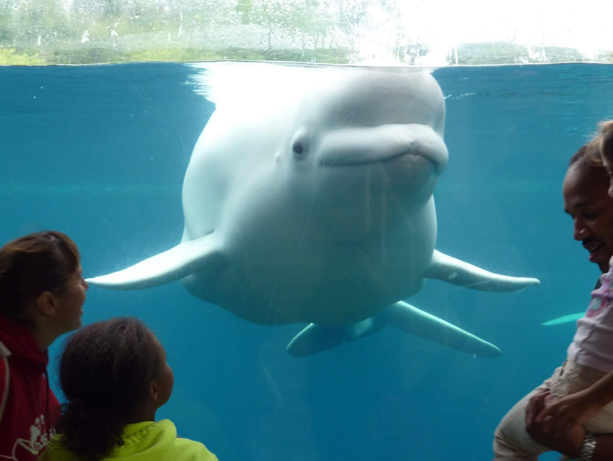A beluga whale at the Mystic Aquarium