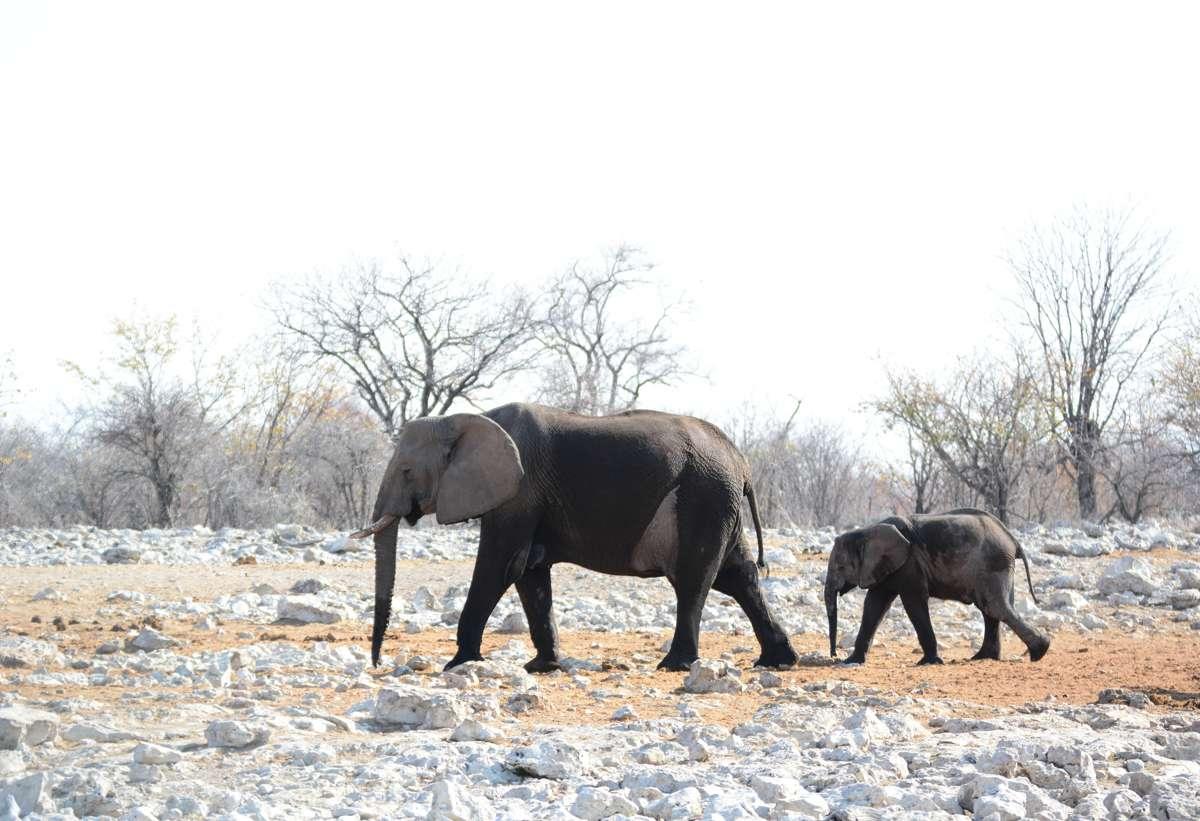 An elephant with a baby elephant walking through Ethosha