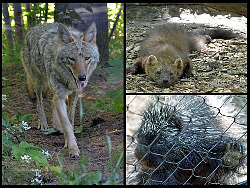 Coyote Fisher Porcupine Picture