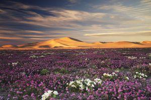 Sand Verbena Wildflowers Abronia villosa and Dune Evening Primrose oenothera deltoides flowers on Dumont Dunes in Mojave Desert, California, USA