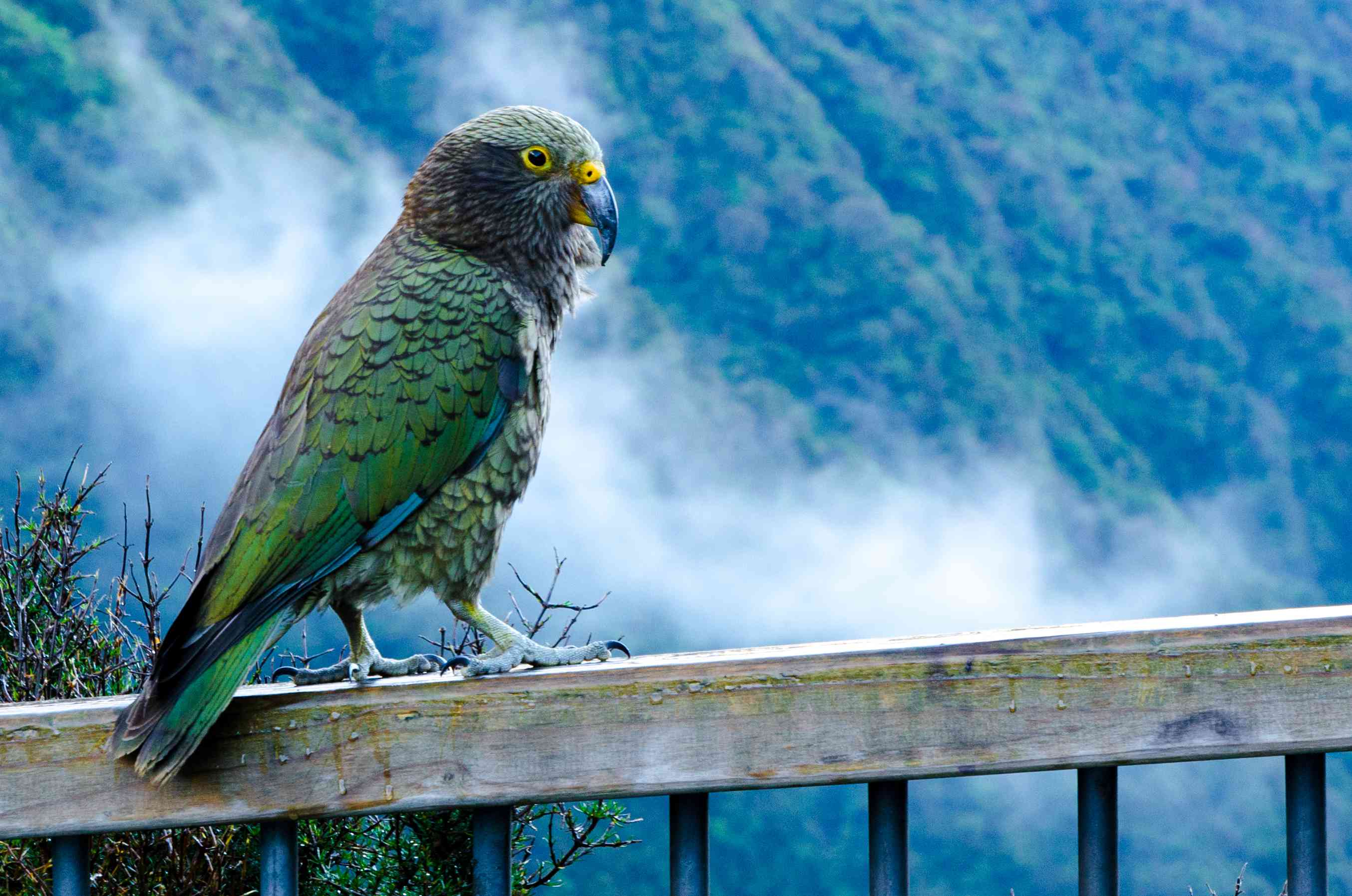 green bird with hooked beak sitting on a fence with mist and forest in background