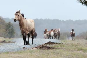 Wild ponies of Chincoteague