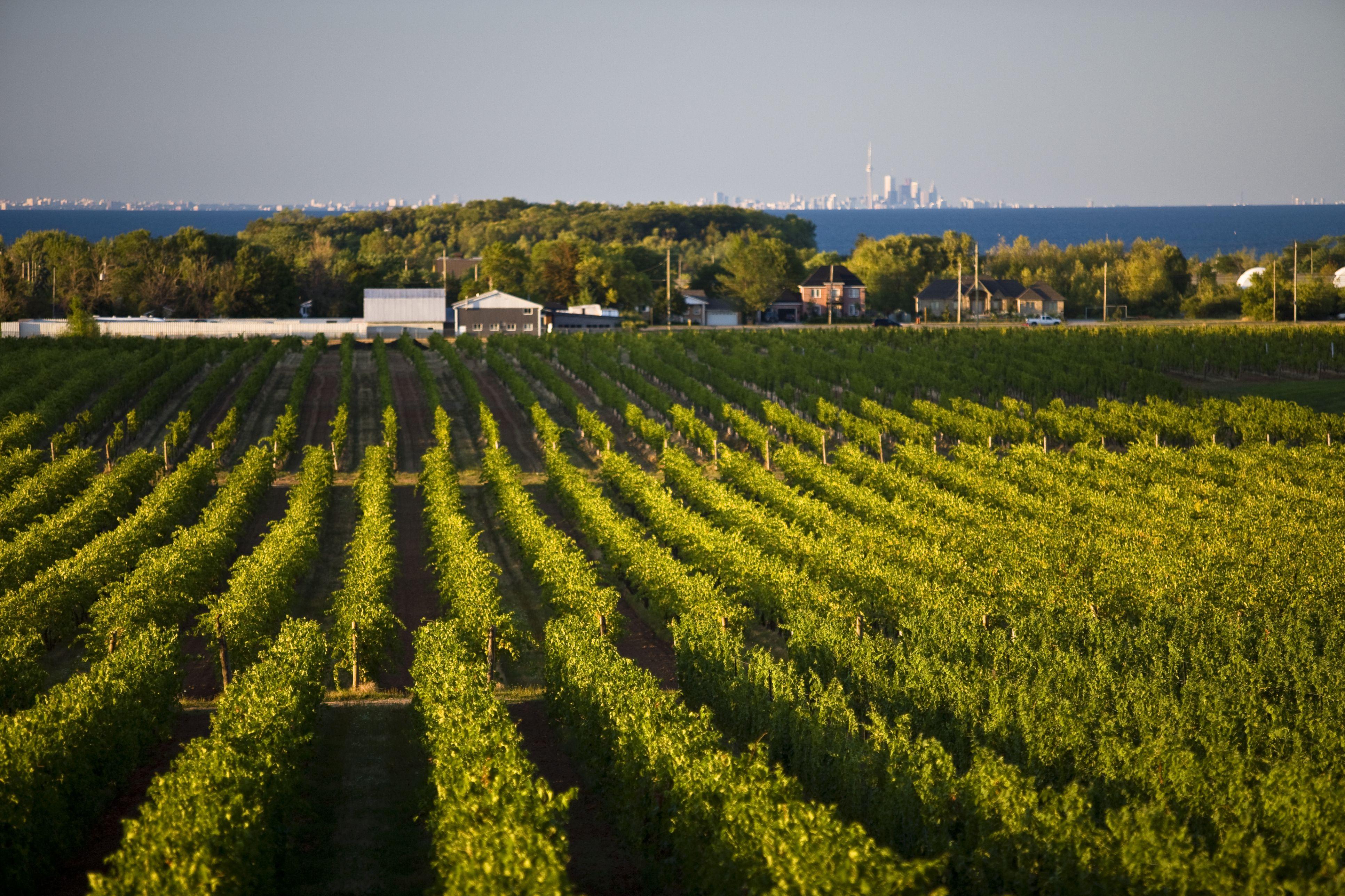 Niagara Vineyard with Toronto on the horizon