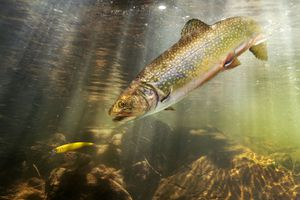 Brook trout, (Salvelinus fontinalis), depicted in a natural setting following a fishing lure