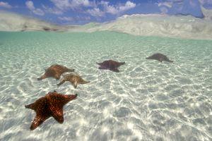 Cushion Stars near Bahamas