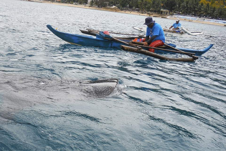 Whale sharks in Oslob, Cebu