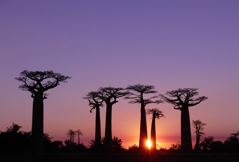 Baobab trees at sunset, Madagascar