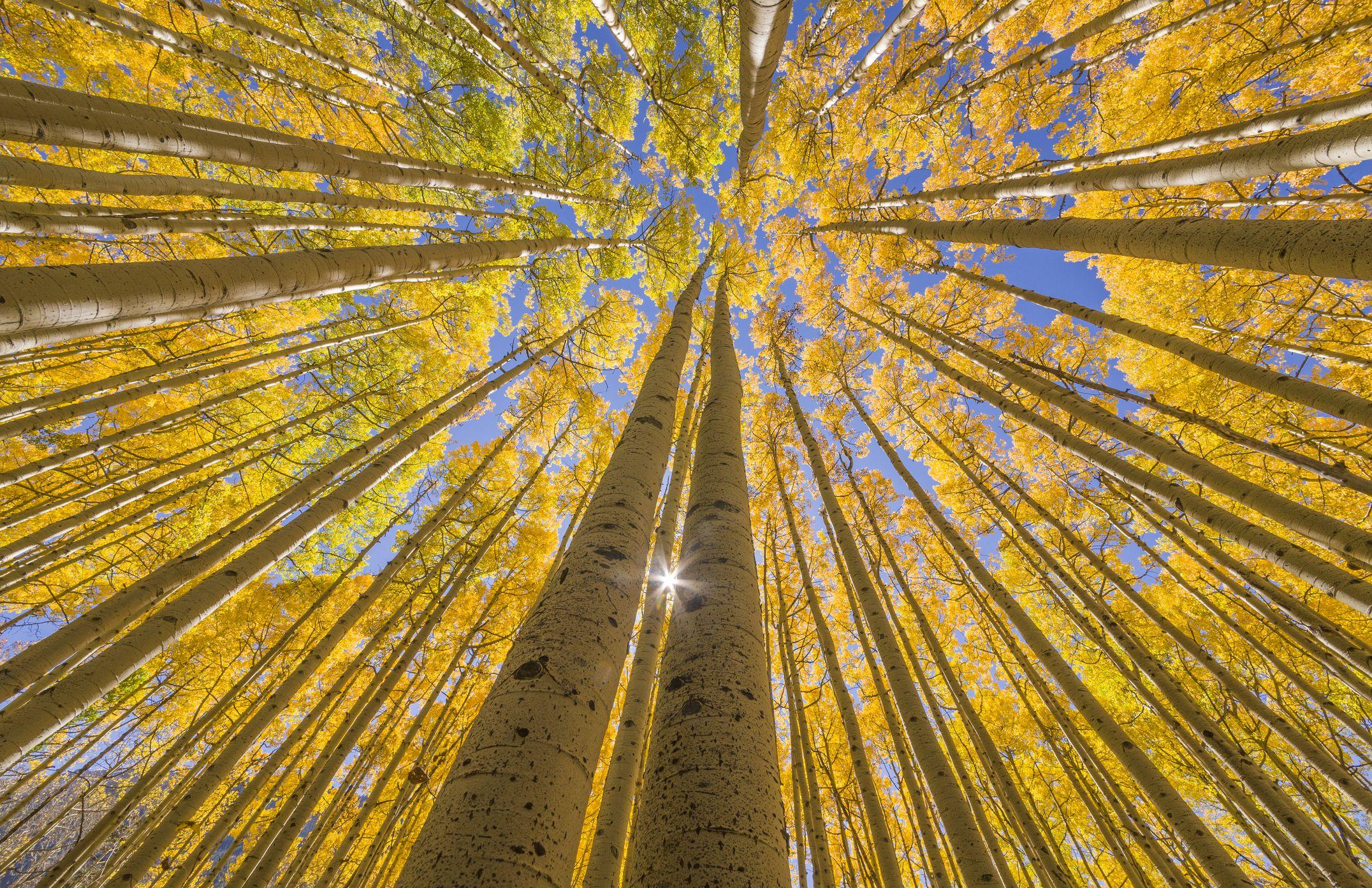 Aspen trees. San Juan National Forest, Rocky Mountains, Colorado