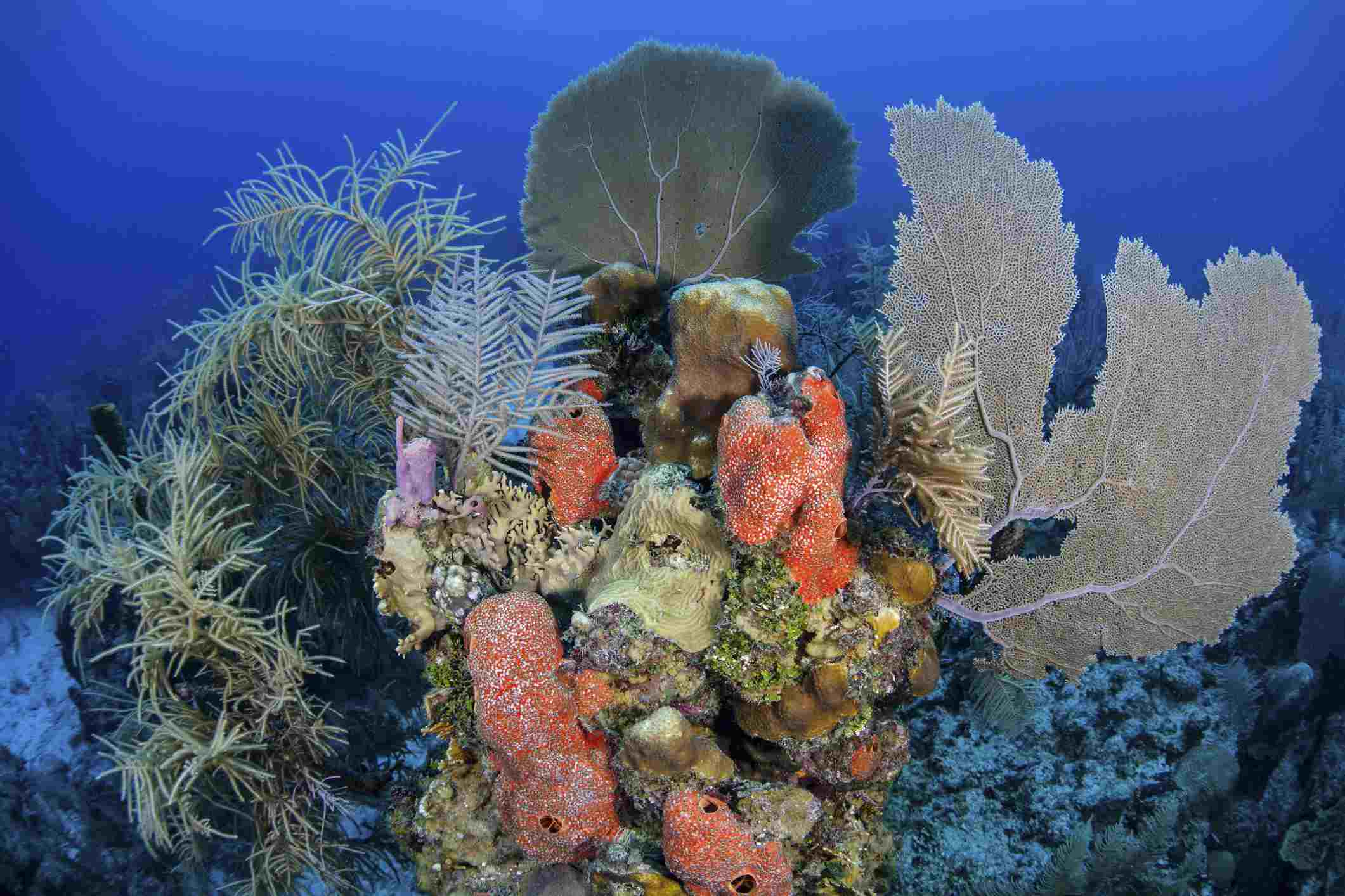 Healthy Corals, Turneffe Atoll
