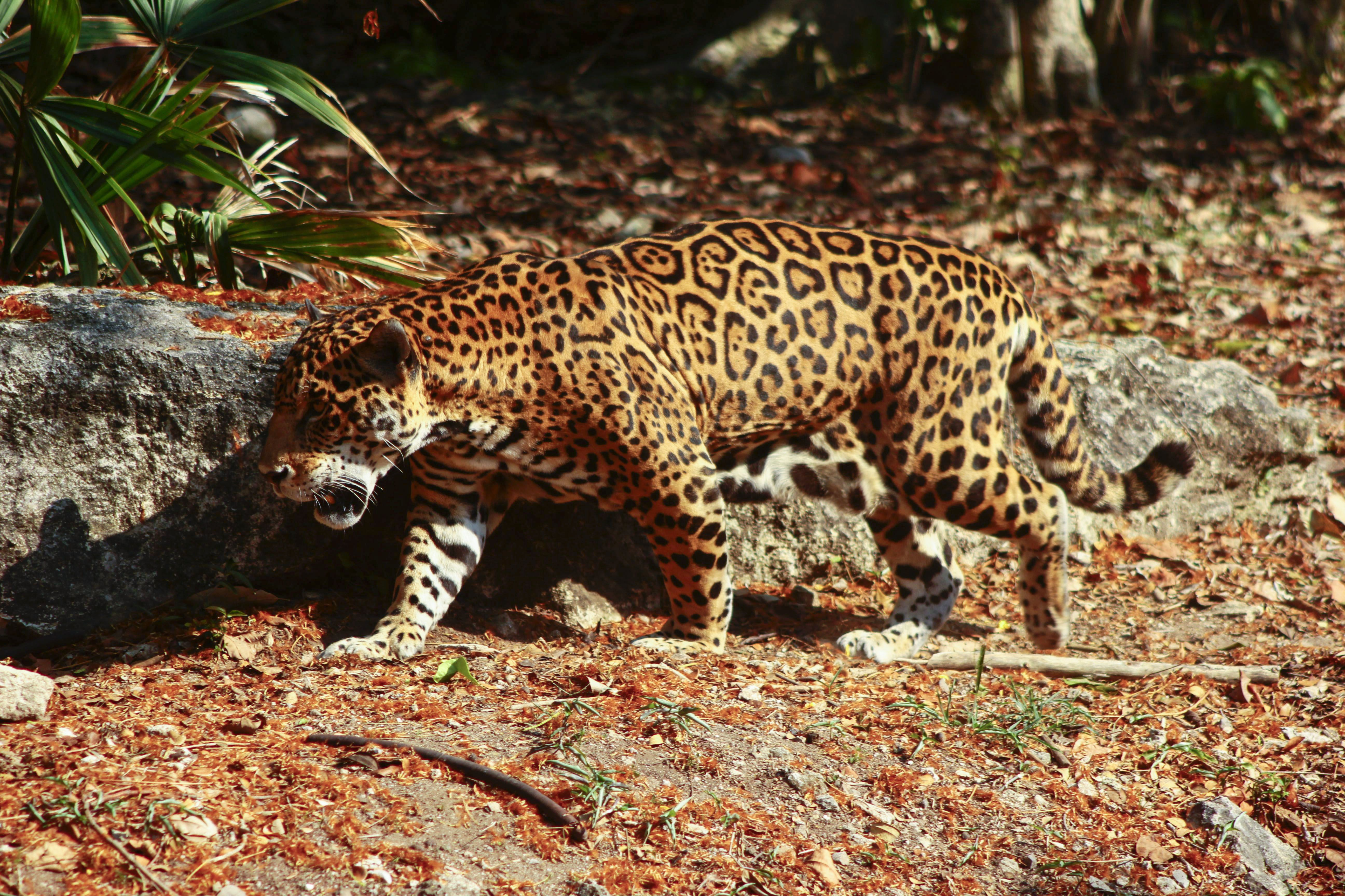 A jaguar in the pantanal wetlands