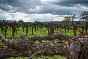 A Napa Vineyard in the Winter