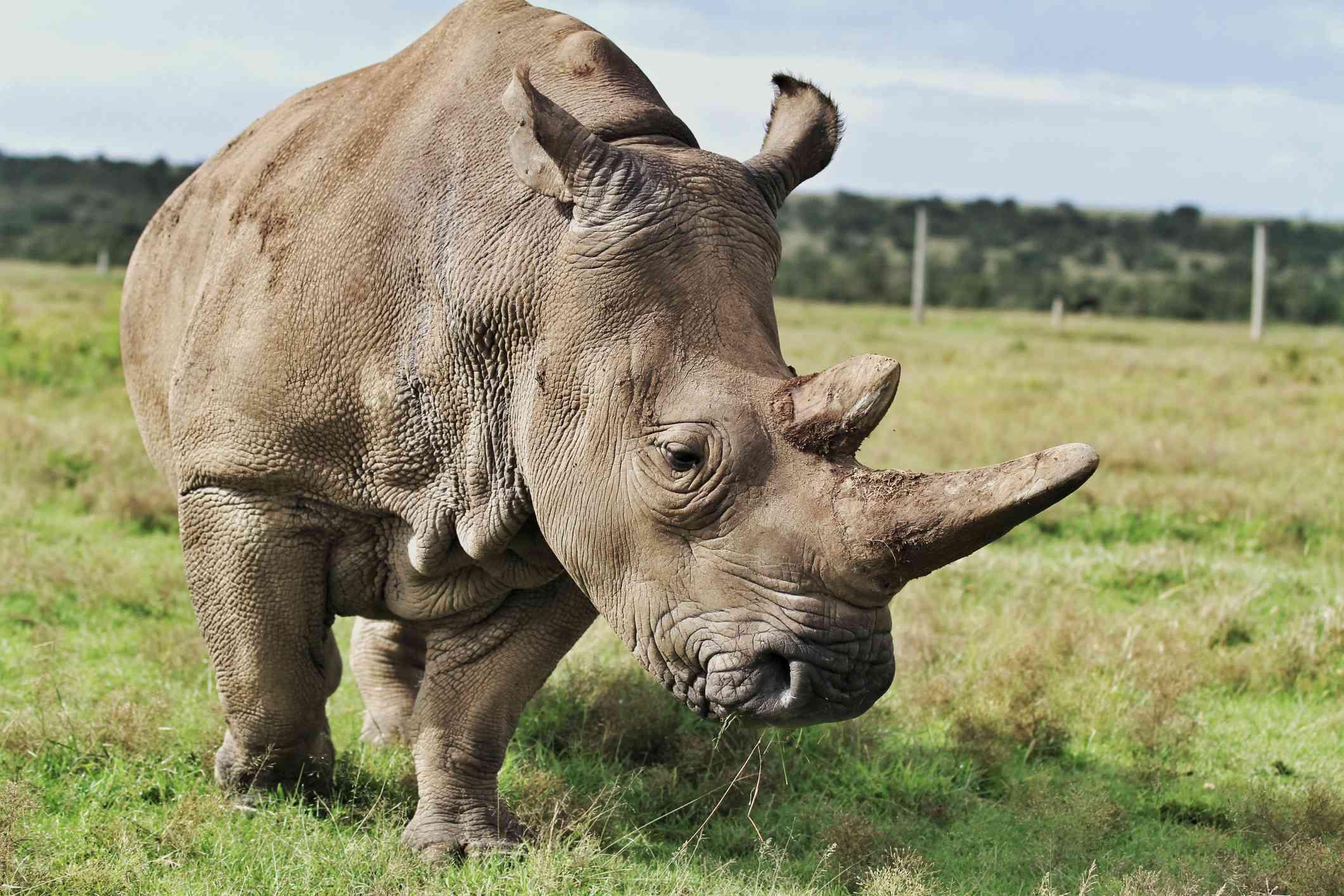 One of the world's last northern white rhinos, Ol Pejeta Conservancy, Kenya