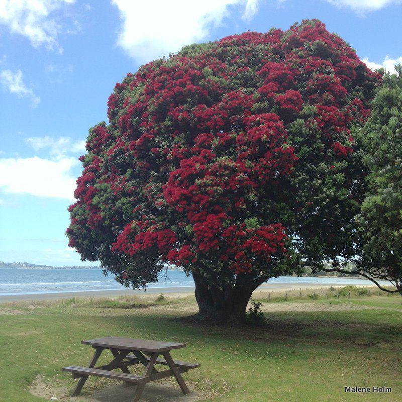 Pohutukawa Tree, Orewa Beach, North Shore, Auckland