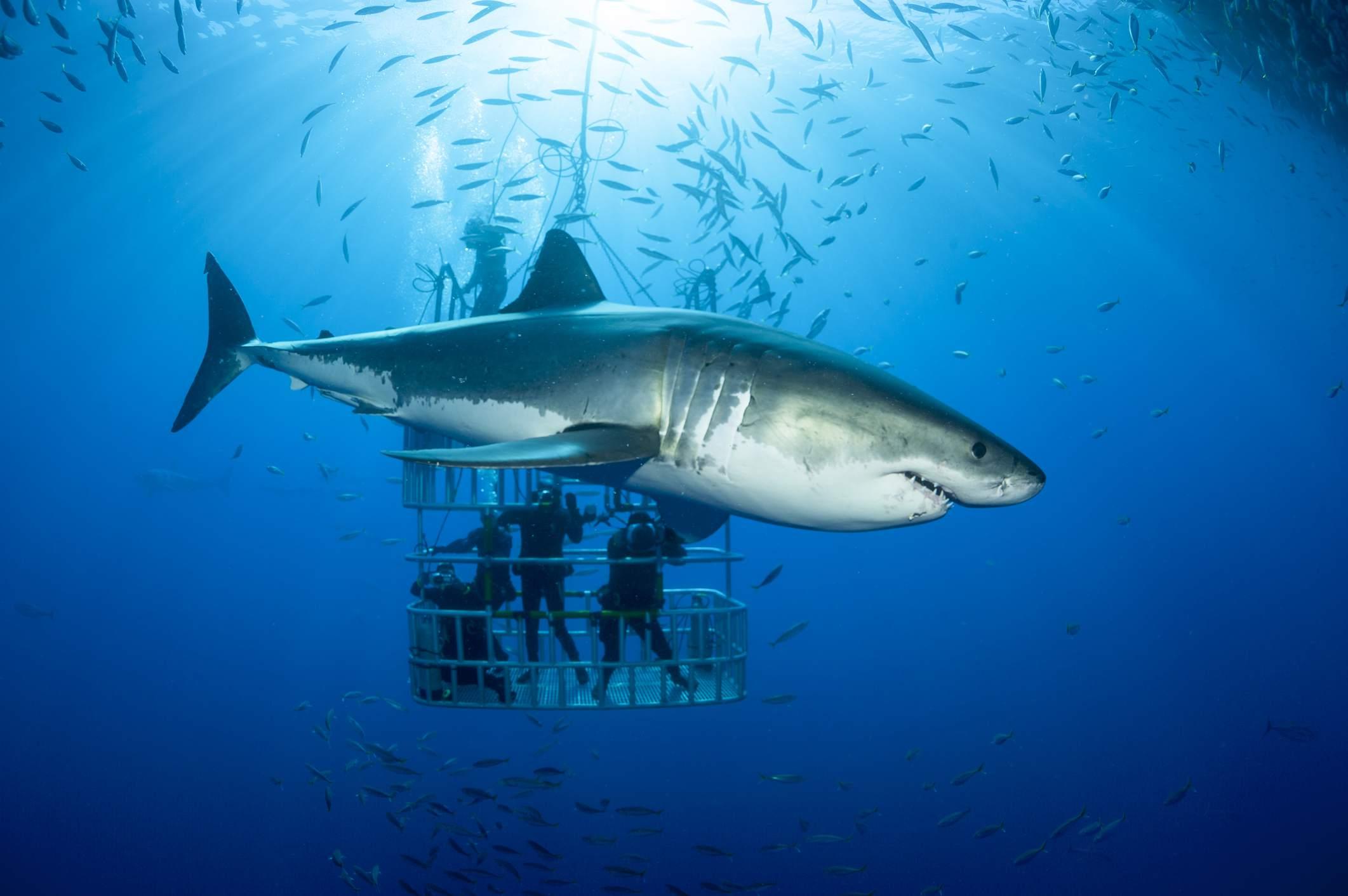 картинки акул на поверхности океана доказали, что