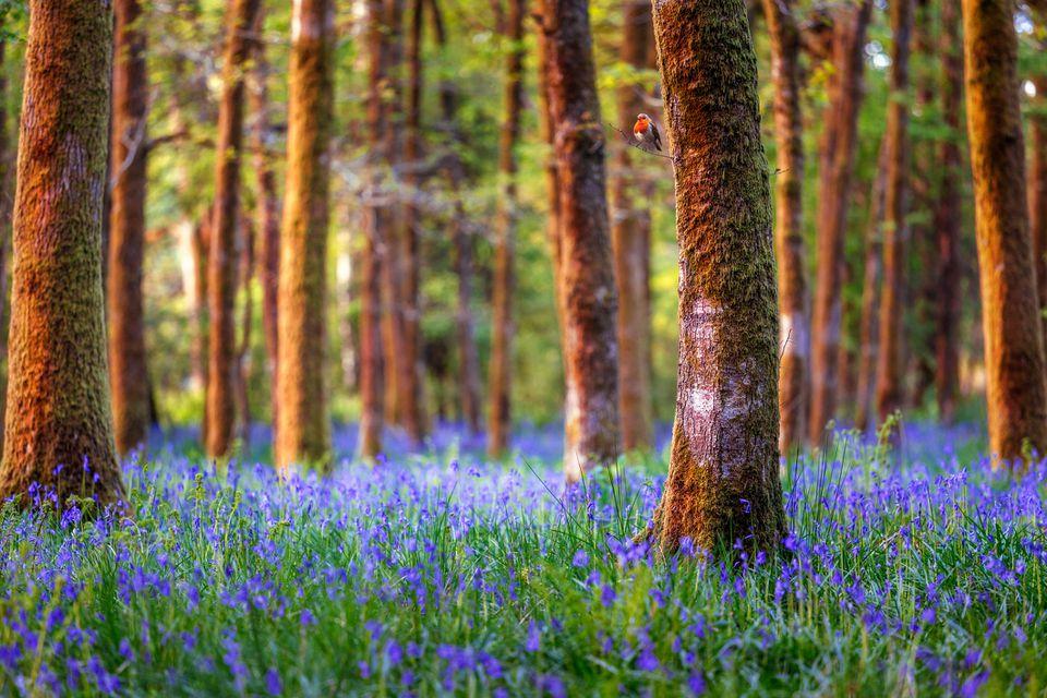 Bluebell forest in UK woodlands