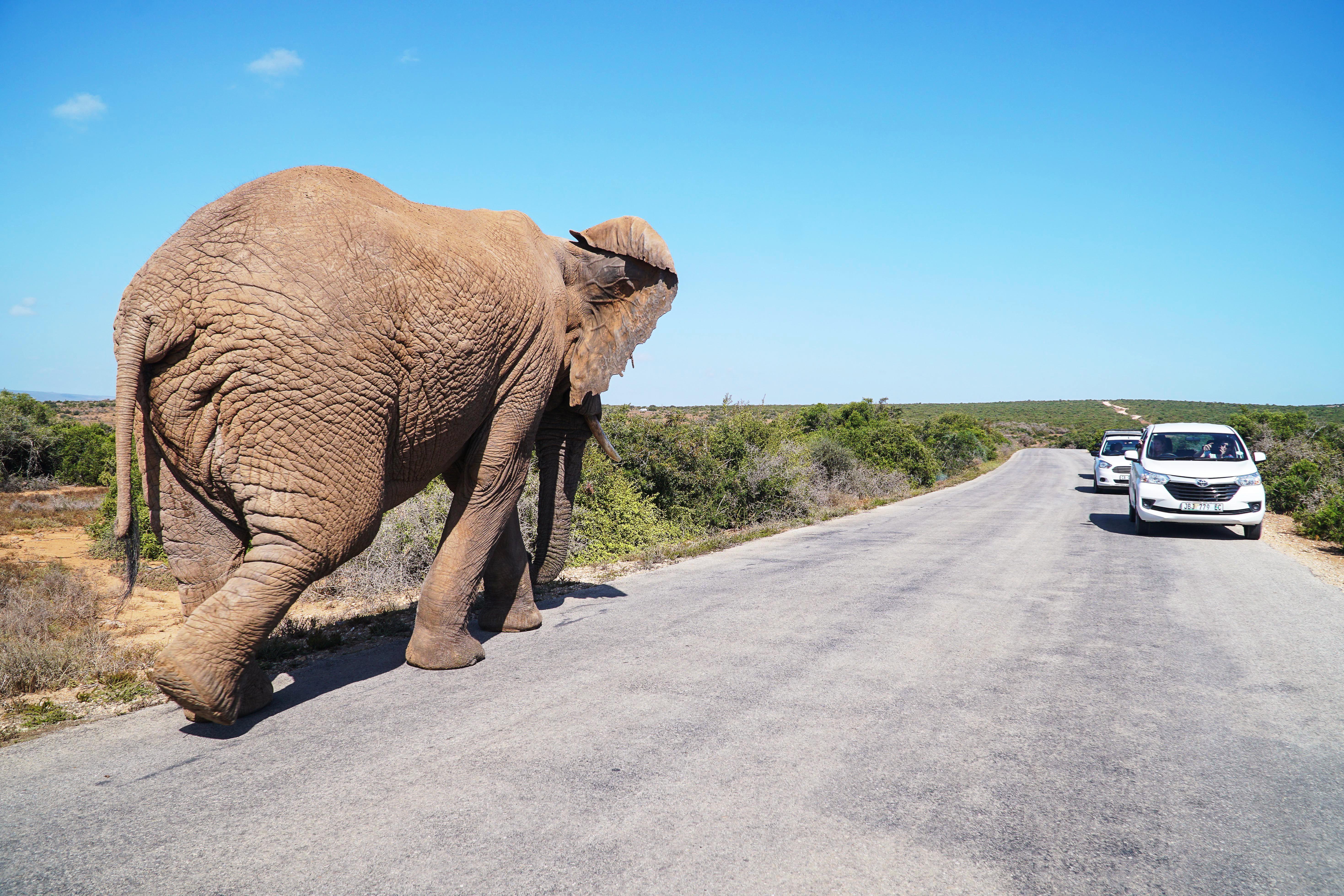 Elefante caminando por una carretera junto a vehículos en Sudáfrica