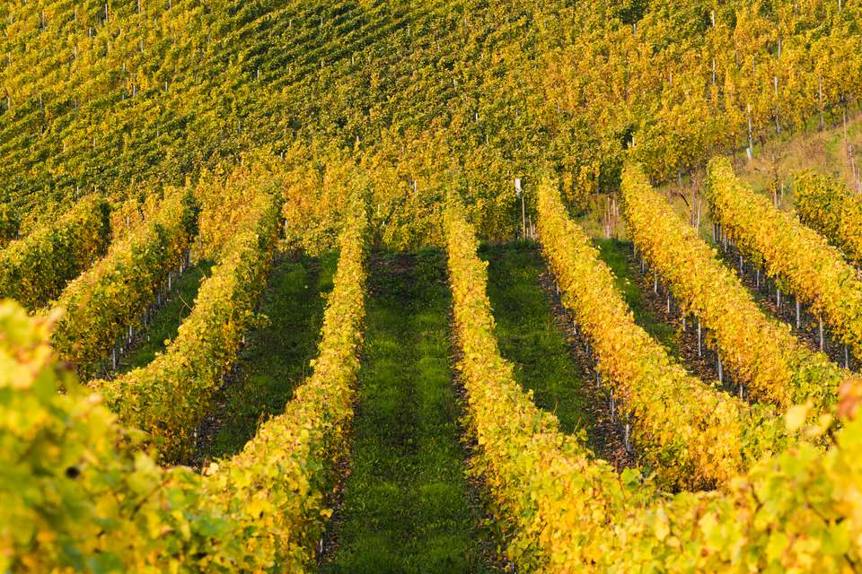 Bernkastel-Kues vineyards, Moselle Valley, Germany.