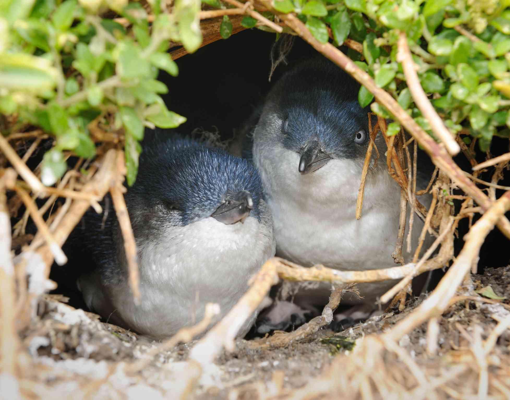 Little Penguins/Fairy Penguins (Eudyptula Minor) breeding in Wildlife, Australia