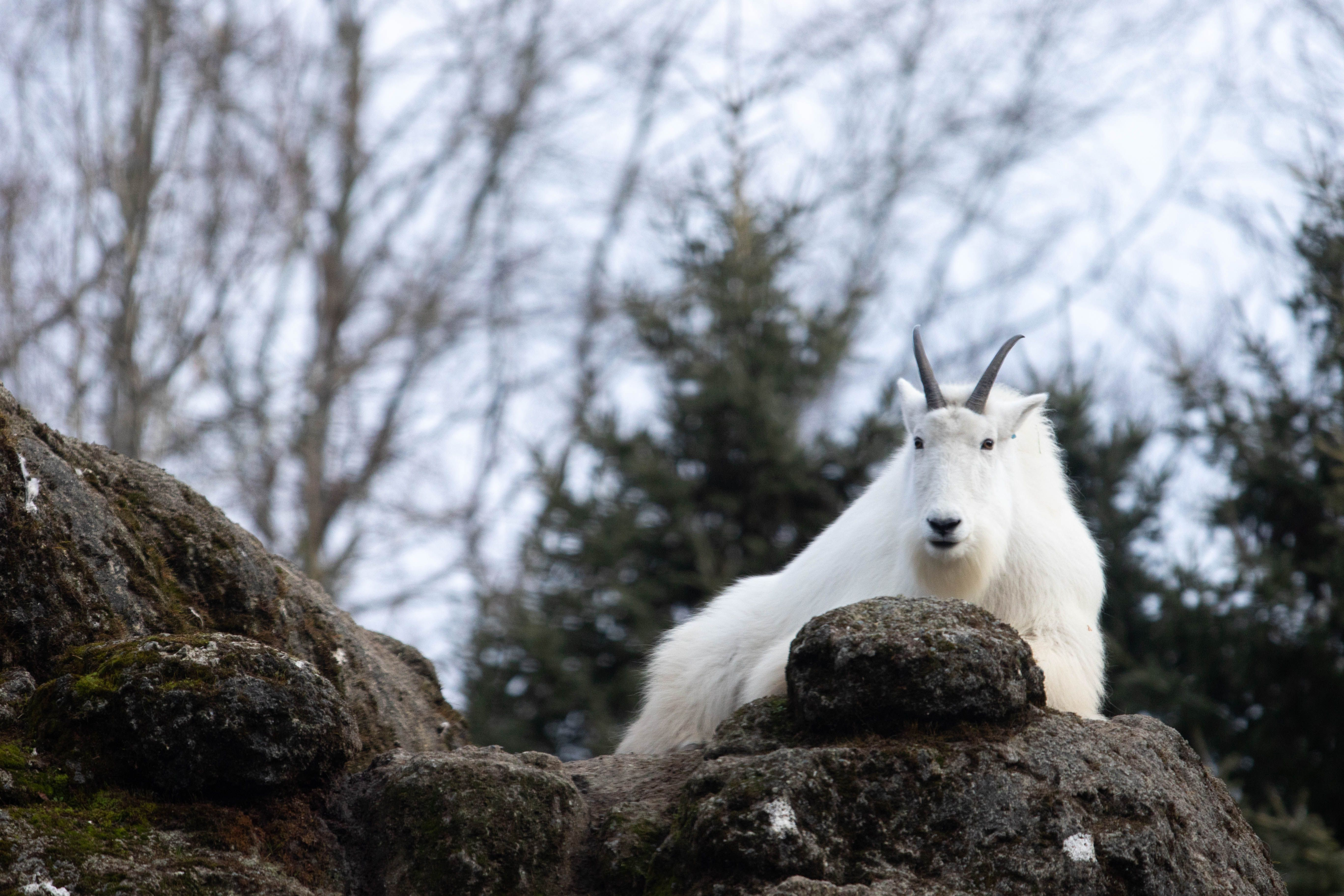 A goat at Woodland Park