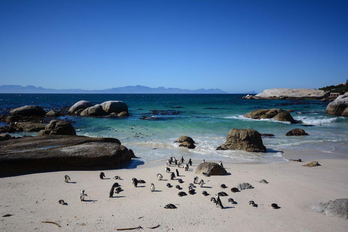 Pingüinos africanos en Boulders Beach, Ciudad del Cabo