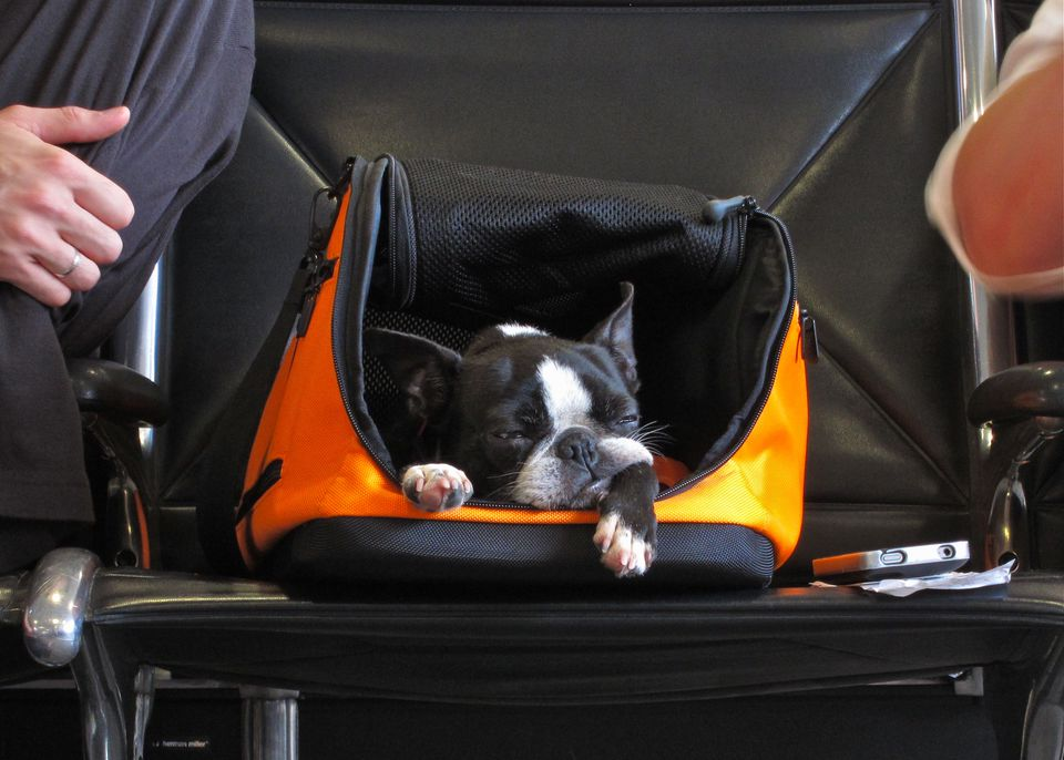 Dog in carry-on bag