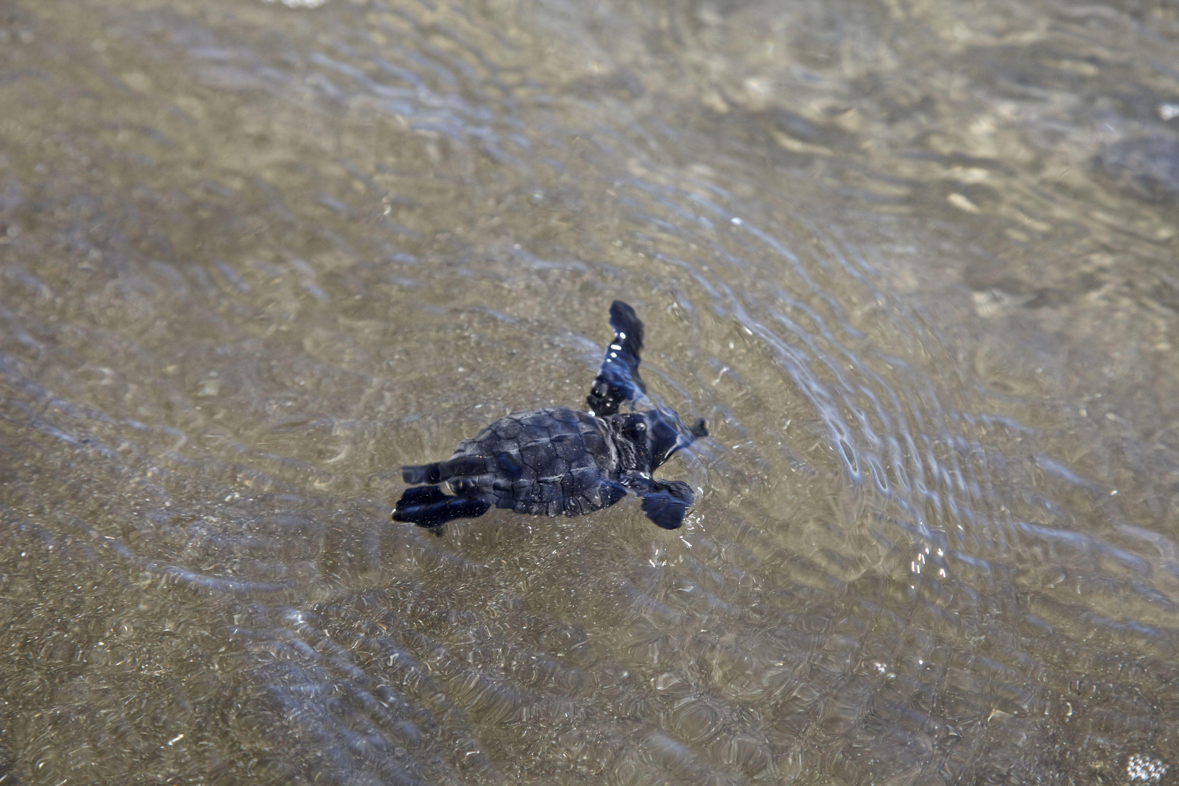 Turtle hatchling swimming in water, Playa De Cuco, El Salvador